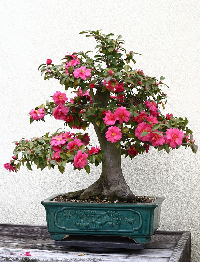 Blühende Azalee im Bonsai Format