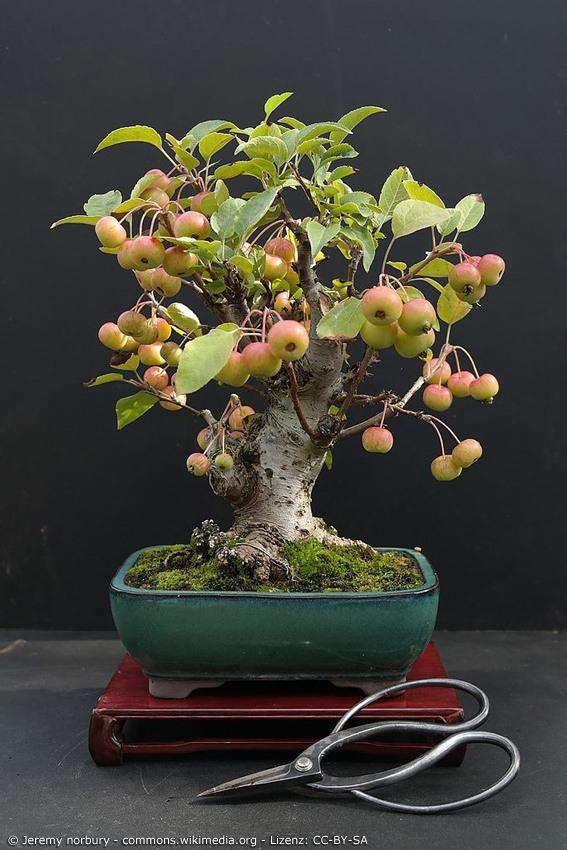 Kleiner Obstbaum in Bonsai Form