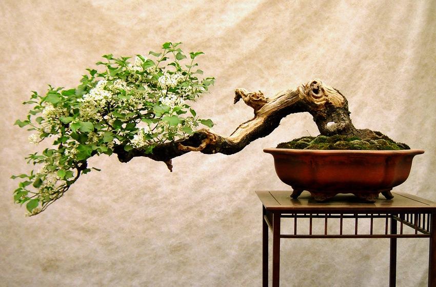 Bonsai Baum im Kengai Stil