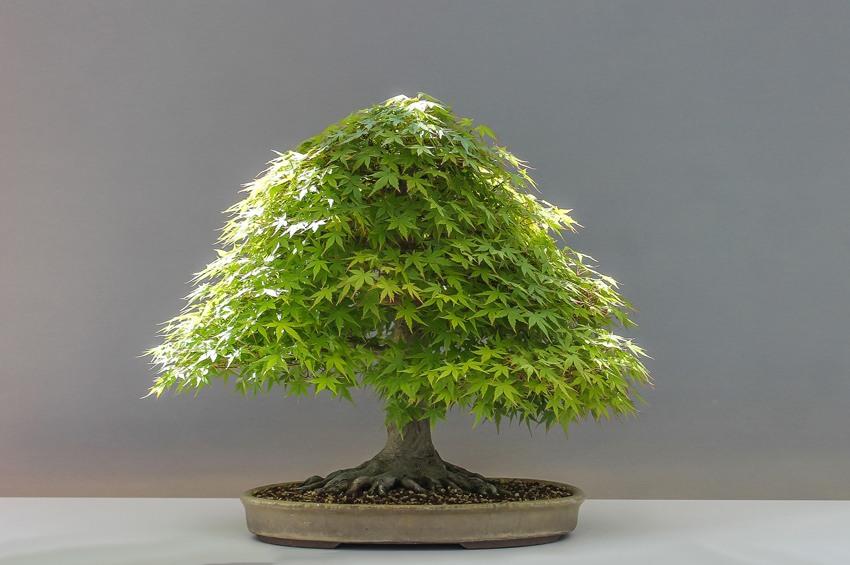japanische bonsaikunst natur im miniaturformat. Black Bedroom Furniture Sets. Home Design Ideas