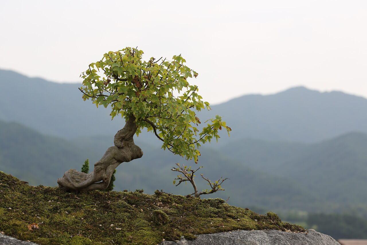 bonsai-natur