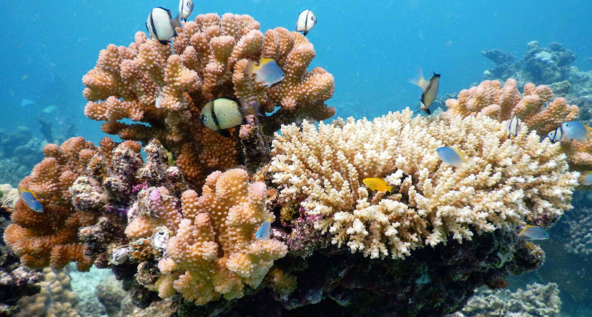 Die Korallen der Unterwasserwelt von Okinawa
