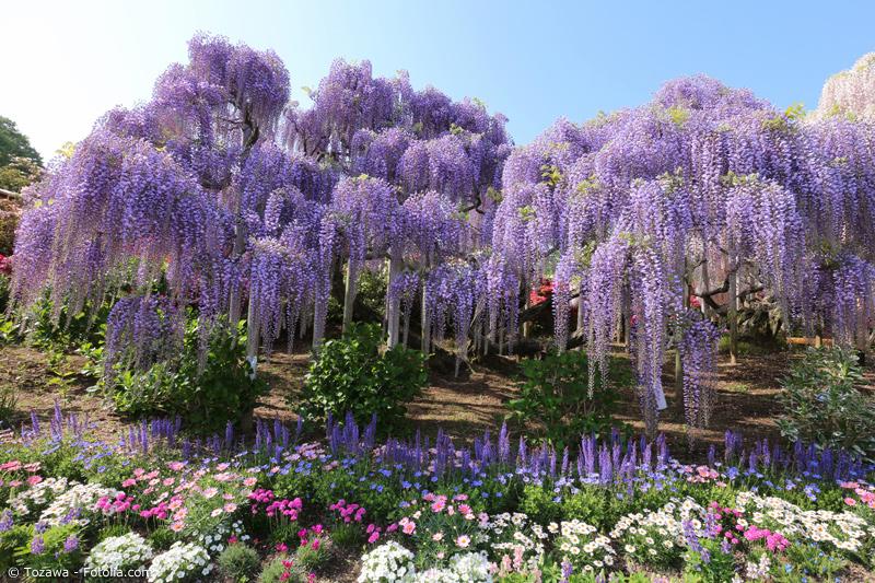Glyzinien im Ashikaga Flower Park