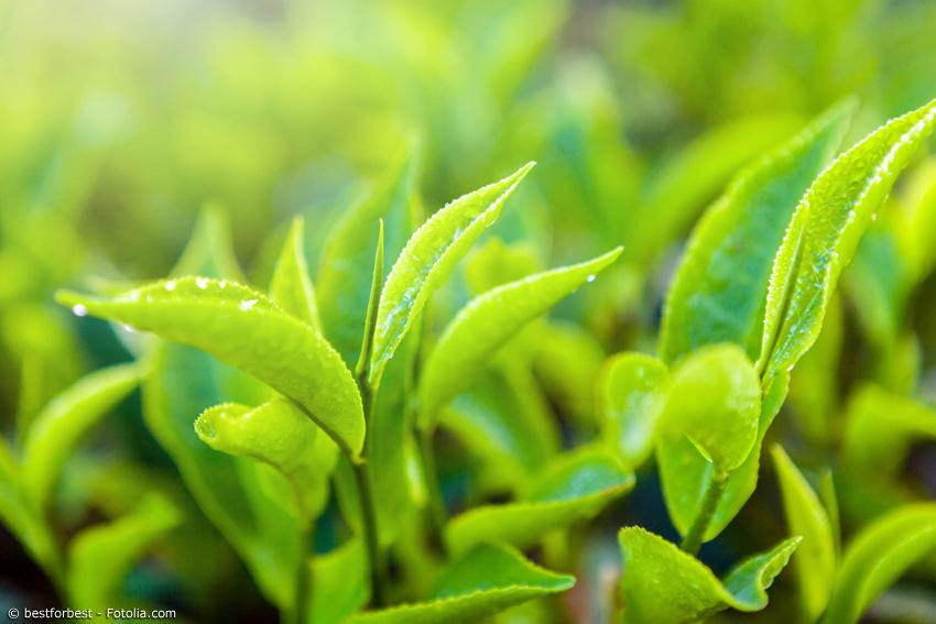 Nahaufnahme von Teeblättern nach Regenschauer