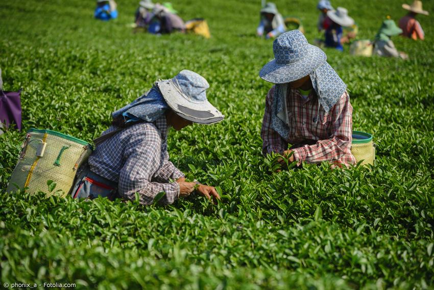 Erntehelfer bei der Grüntee Ernte in Japan