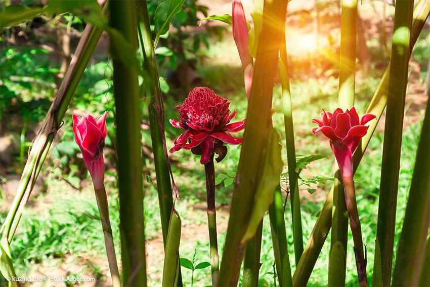 Ingwer - Heilpflanze - Blüte