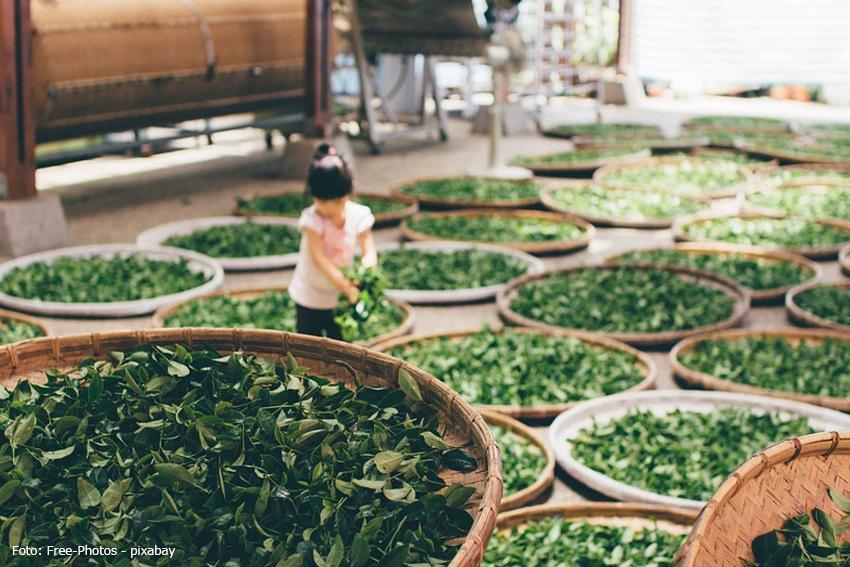 Japan Ernte Grüner Tee