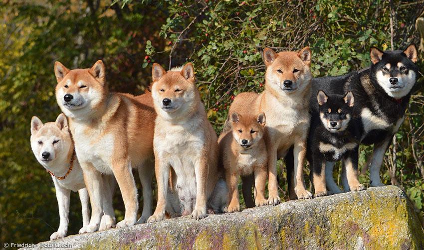 Japanische Hunderassen Shiba Inu Und Co Japanwelt De
