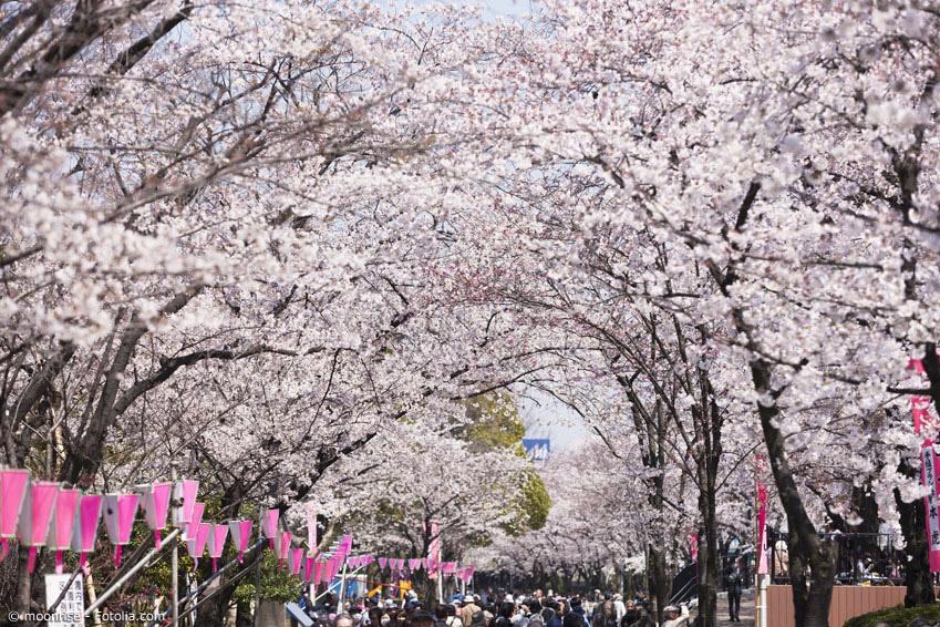 In Japan gibt es nicht nur private Picknicks, sondern auch richtige große Kirschblütenfeste mit Ständen und vielen Menschen, die sich unter den Kirschbäumen versammeln. Eines der größten findet jedes Jahr im Ueno-Park in Tokyo statt.