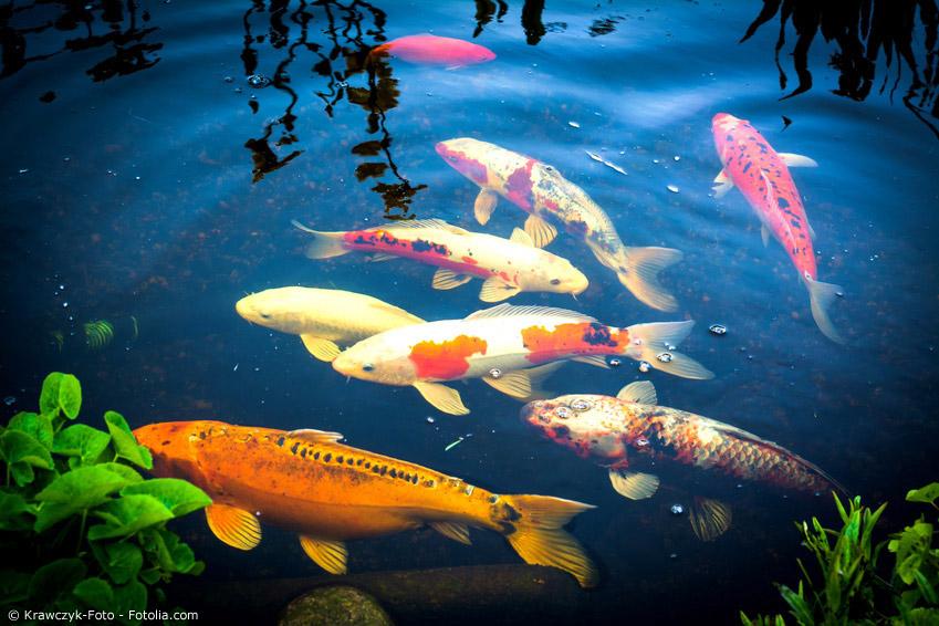 Japanischer karpfen symbolik und geschichte des kois for Fische in teichen