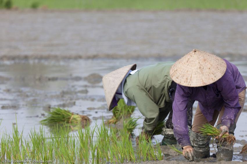 Bei Reisbauern ist der Kegelhut aus Bambus ein beliebter Sonnenschutz oder Schutz vor einem plötzlichen Regenschauer.