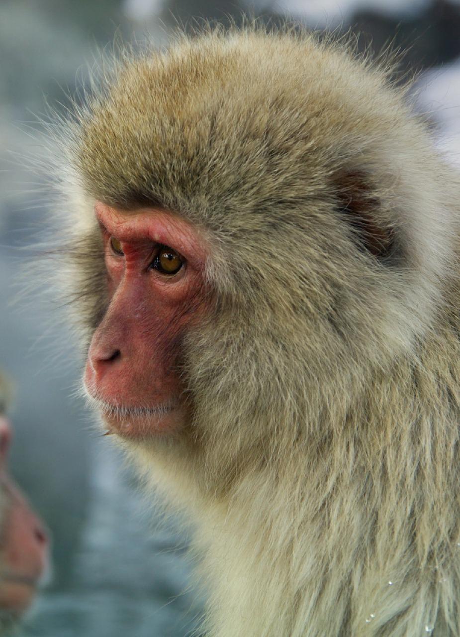 Das markante rote Gesicht eines japanischen Affen (Nihozaru)