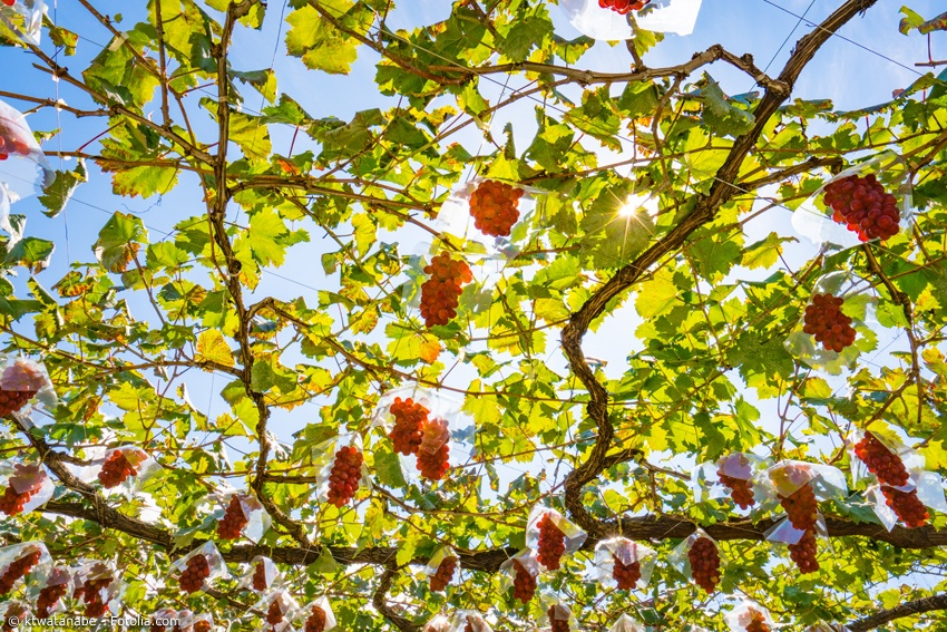 Weinreben im Sonnenlicht in der Region Koshu