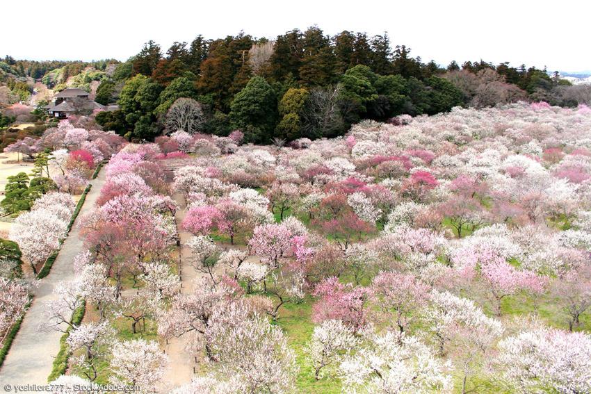Japanischer Garten Keiraku-en mit vielen blühenden Pflaumenbäumen
