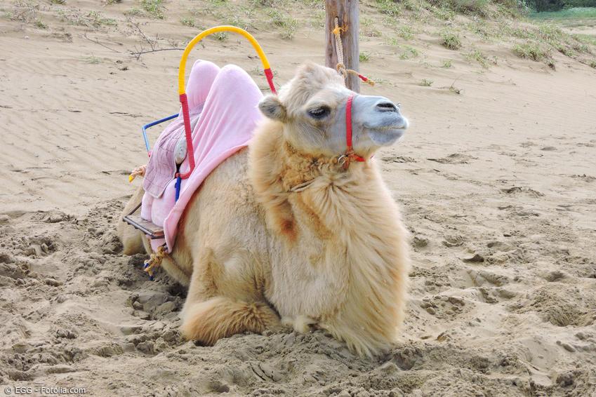 Kamel mit Sattel sitzt im Sand