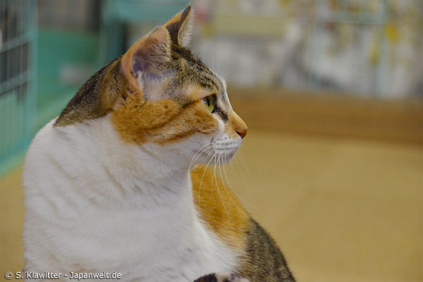 Natürlich sind Katzencafés ein Geschäftsmodell, doch das Wohl der Tiere sollte immer an erster Stelle stehen. Dass es nicht immer so ist, kommt in Japan leider durch Missachtung des Tierschutzes nicht so selten vor, wie man es sich wünscht.