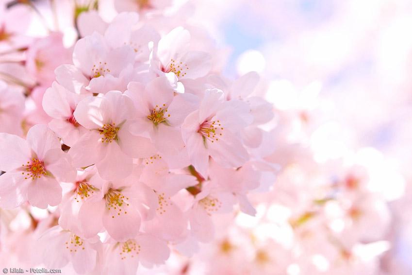 Kirschblüten haben eine besondere Bedeutung in Japan. Sie stehen wie nichts anderes für die vergängliche Schönheit der Natur.