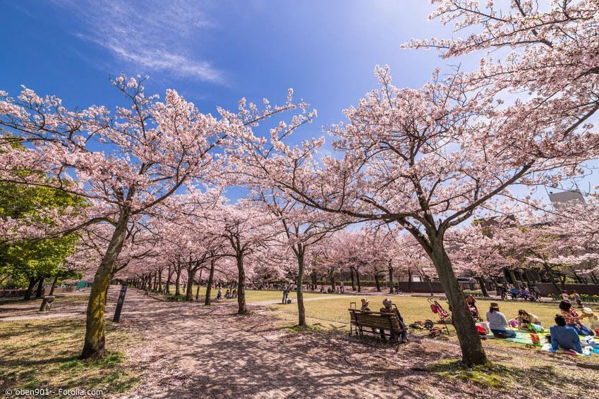 Für ein Hanami - die Kirschblütenschau – trifft man sich in Parks oder Gärten. Wichtigste Utensilien dafür: Eine blaue Kunststoffplane, Bentos und Bier oder Sake.