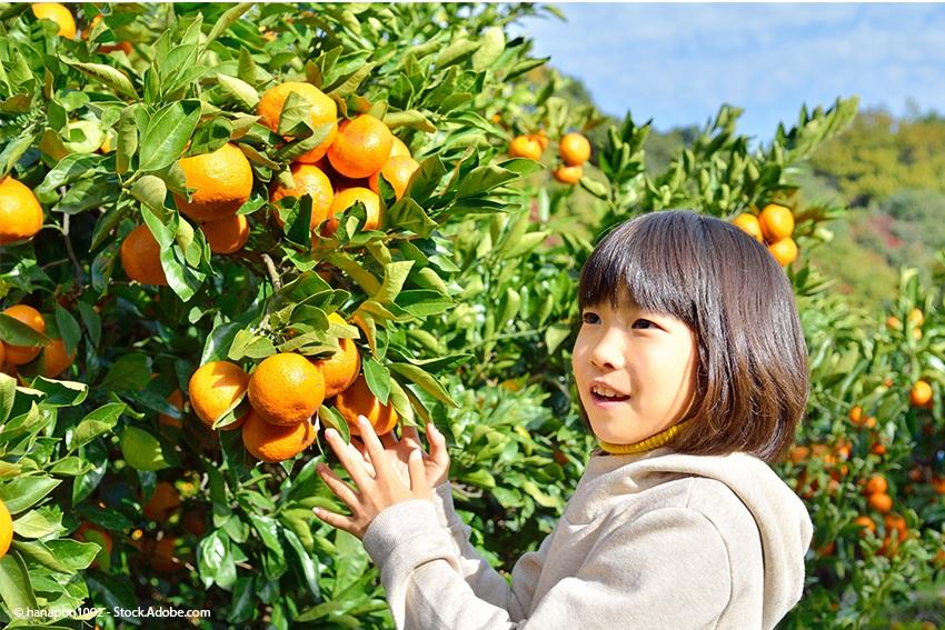 mandarinen-ernte-in-ehime
