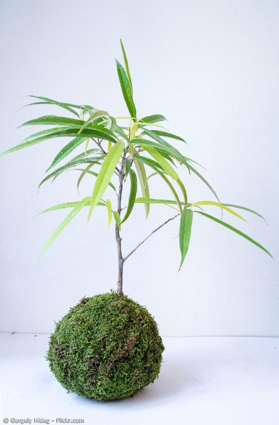 Mini-Bonsai im Moosballen