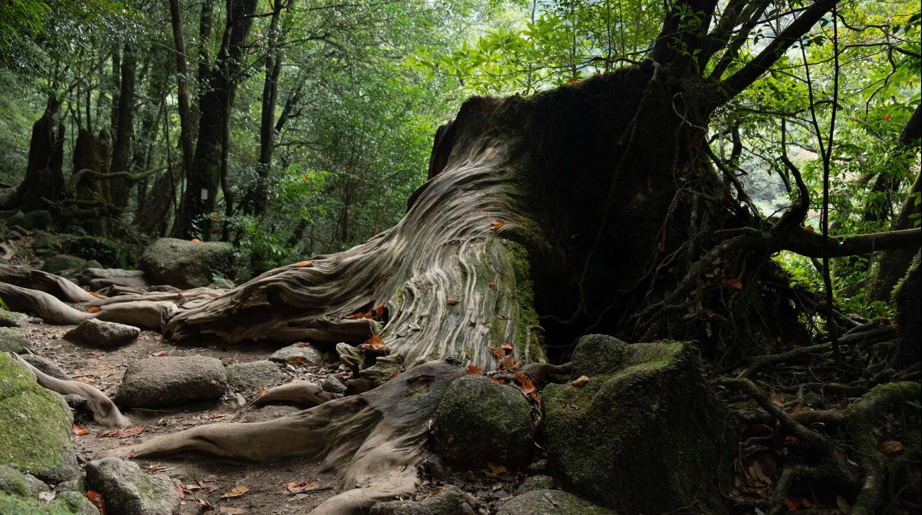 Älteste Zeder Japans