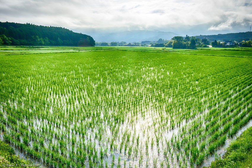 Auch wenn die meisten Japaner und Touristen unter der Regenzeit leiden, für die Reisbauern ist sie unerlässlich. OhneRegenzeit hätten sie nicht genug Wasser für die Felder. Der Regen füllt außerdem im ganzen Land die Wasserreservoirs für denSommer.