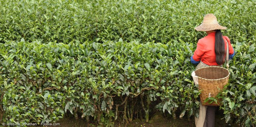 Erntehelferin mit Weidenkorb auf einer Teepplantage