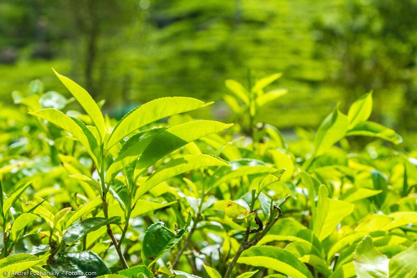 Nahaufnahme eines Triebs einer Grüntee-Pflanze im Sonnenlicht