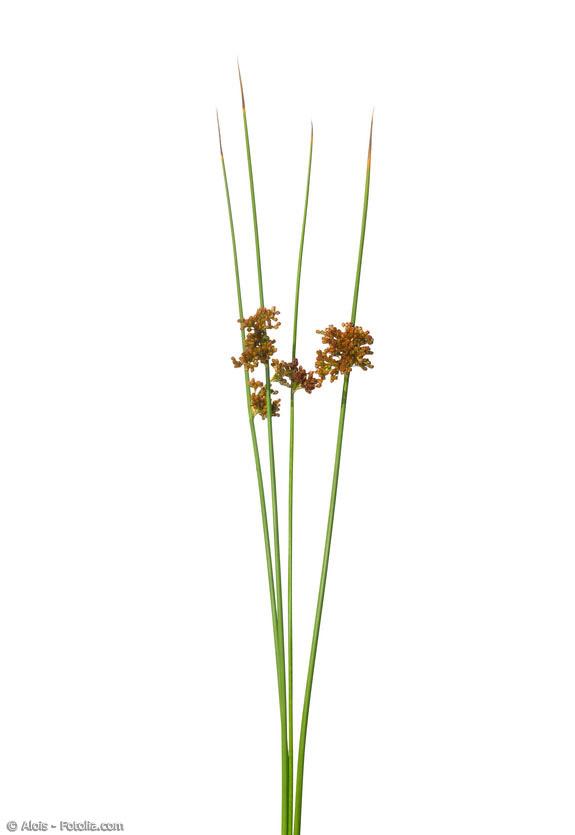Igusa-Gras – oder auf Deutsch die Flatterbinse – wird traditionell als Obermaterial für Tatami-Matten benutzt.