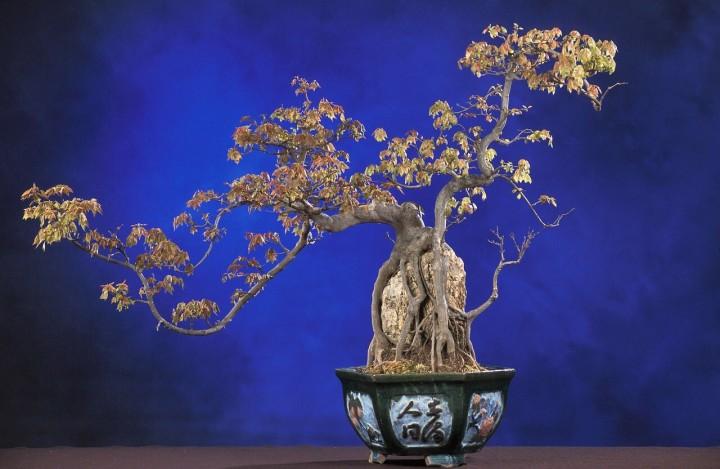Die ältesten Bonsai-Bäume Japans bestaunen