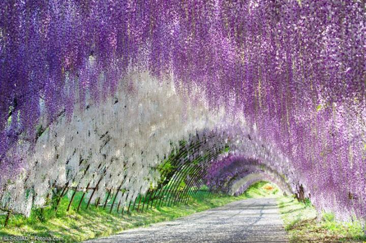Die hängenden Glyzinien Gärten von Tochigi