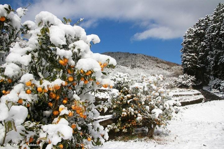 Mandarinen Ernte in der Präfektur Ehime