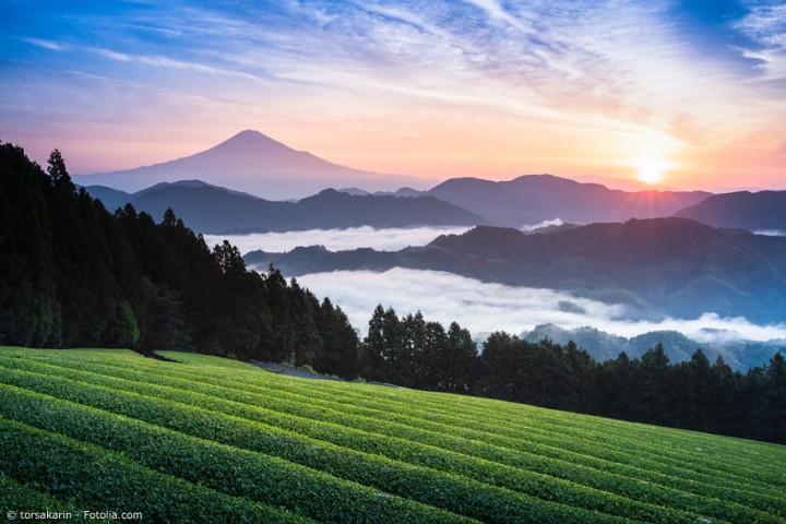 Grüntee Ernte in der Präfektur Shizuoka