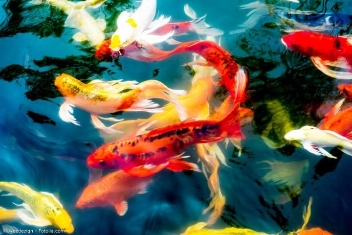 Japanische Karpfen: Ganz besondere Fische