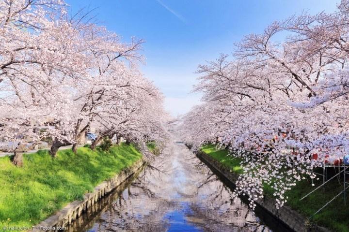 Hanami – wie Kirschblüten in Japan gefeiert werden