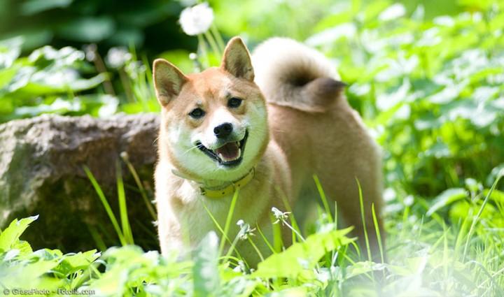 Hachiko und Co. – Über Shiba Inu, Akita und andere japanische Hunderassen