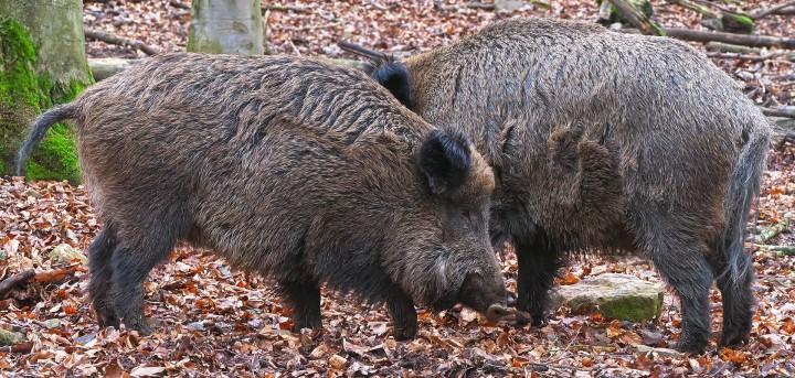 Jagd in Japan: Mehr Jäger gegen wilde Hirsche und Wildschweine