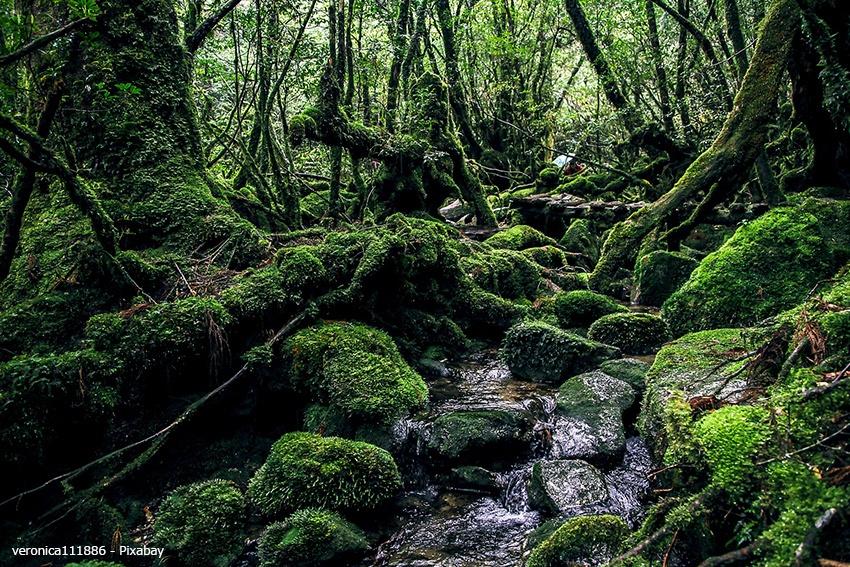 Zedernwald von Yakushima